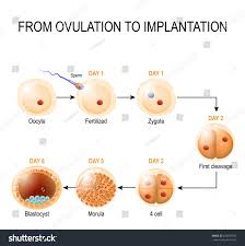 human embryonic development ovulation implantation fetal stock