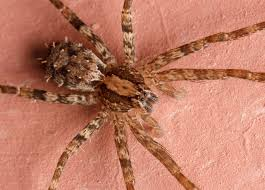 spiders of honduras spiderbytes
