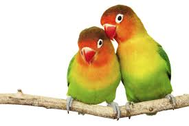 difference between lovebirds u0026 parrotlets animals mom me