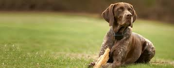 Do All Short Haired Dogs Shed by German Shorthaired Pointer Dog Breed Health History Appearance