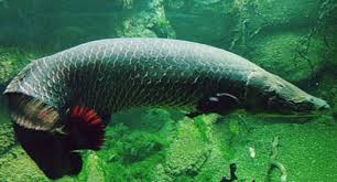 amazon black friday prize entry nat geo reports new air breathing fish discovered in the amazon