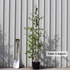 betula pendula silver birch trees for sale