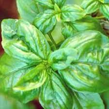 basilico in vaso malattie kioku l idea regalo fatta a fiore le nostre erbe aromatiche