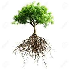 tree with roots isolated stock photo picture and royalty free