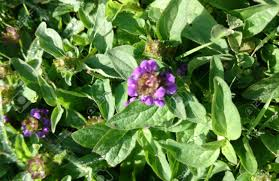 Heb Flowers - prunella vulgaris common selfheal perennial heb with opposite