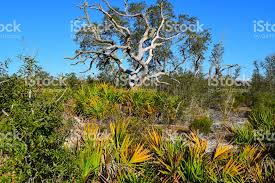 scrub habitat with dead oak tree and yellow tipped palm