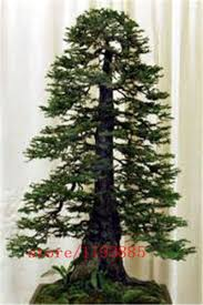100pcs bag coast redwood seeds sequoia sempervirens bonsai tree