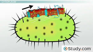 bacterial cytoplasm u0026 cell membrane structure u0026 components