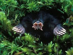 Moles Blind 6 Star Nosed Mole 10 Animals That Look Like Monsters