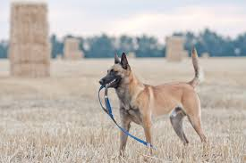 belgian shepherd 101 high energy dog breeds