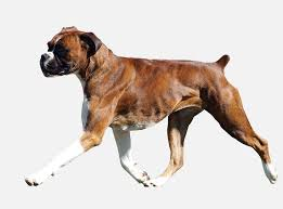 boxer dog with tail boxers on emaze