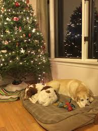 abe and daizy brittany lab christmas my pictures pinterest