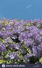 Abundant Pale Lilac Purple Flowers Of Clematis Shrub Compliment