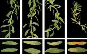 Plant Disease Journal - mpmiepmarch jpg