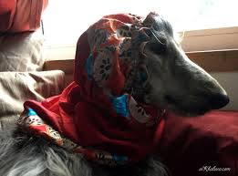 afghan hound snood phoebe and her new snood al khabara