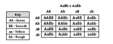 Dihybrid Cross Punnett Square Worksheet Genetics And Punnett Squares Quiz 4 Proprofs Quiz