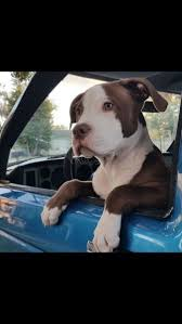 american pitbull terrier puppies louisiana 213 best images about puppys dogs on pinterest puppys pit