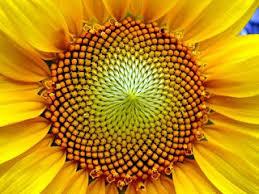 sunflower seed packets heatherwood garden sunflower seed packets