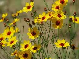 care of coreopsis how to grow and care for coreopsis plants