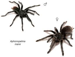 taxonomic revision of the tarantula genus aphonopelma pocock 1901
