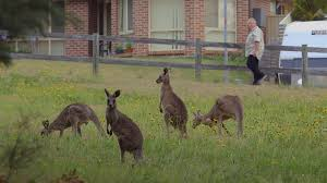 kangaroo backyard brawl animals gone wild video nat geo wild
