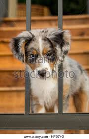 7 month old australian shepherd puppy blue merle australian shepherd pup stock photos u0026 blue merle