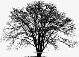 tall tree trees sketch tree png and vector for free download
