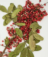 native brazilian plants esciencecommons brazilian peppertree packs power to knock out