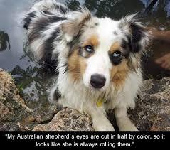 australian shepherd blue eyes where you looking at australian shepherd weenie dogs and eye