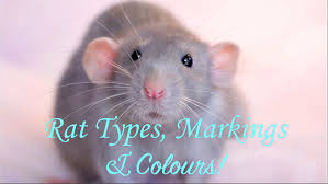 Types Of Grey Color by Rat Types Markings U0026 Colours Youtube