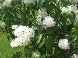 white lilac tree image collection of folwers of white color