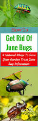 how to get rid of june bugs 4 natural ways to save your garden