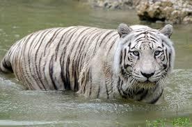 zoo miami mourning death of elderly ailing white tiger cbs miami