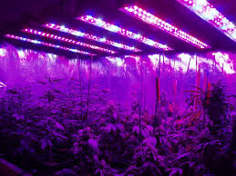 best light for weed seedlings 5 truths about growing bigger weed buds with led than hps zenpype