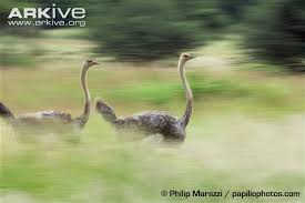 Ostrich Meme - ostrich photo struthio camelus g57576 arkive