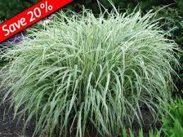53 best nursery sun grasses images on ornamental