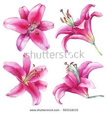 Pink Lily Flower Lily Stock Images Royalty Free Images U0026 Vectors Shutterstock