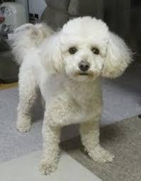 haircutsfordogs poodlemix 12 best images about suki my bichon poodle on pinterest poodle