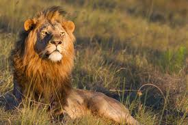 male lion wallpapers 1600x1067px 50 amazing lions wallpapers 94 1463134981