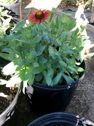 file gaillardia arizona red shades 17 jpg wikimedia commons