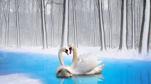 birds wallpaper hd swans river trees winter snow wallpapers13 com