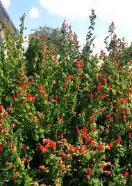 turks cap best plant for wildlife s cap neil sperry s gardens