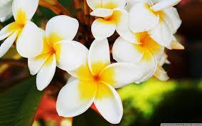 hd flower wallpaper 1280x800 83320