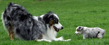 images of australian shepherd frequently asked questions masca u2013 miniature australian shepherd