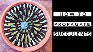 succelents how to propagate succulents youtube