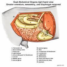Female Abdominal Anatomy Pictures Goat Link Com Goat Abdominal Organs