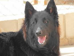 belgian sheepdog registry belgian sheepdog pictures and informations dog breeds com