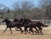 Black Mustang Ranch Pilot Point Texas Discover Denton Original Independent
