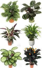 best 25 calathea plant ideas on pinterest calathea tropical