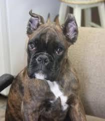 boxer dog european gracie 100 european boxer this is ltz pampered pets new